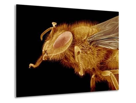 Head of a Honeybee-Micro Discovery-Metal Print