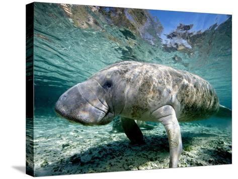 Florida Manatee-Stephen Frink-Stretched Canvas Print