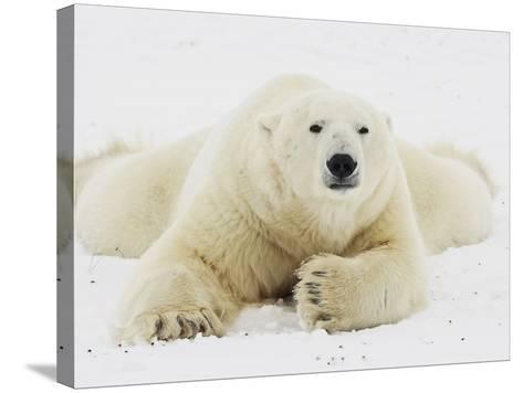 Polar bear lying in snow-John Conrad-Stretched Canvas Print