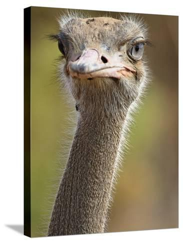 Common Ostrich-William Manning-Stretched Canvas Print