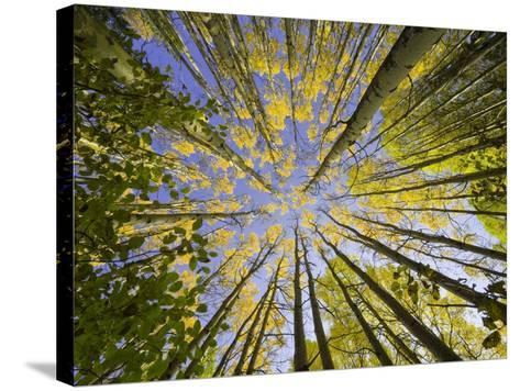 Golden Aspen Trees Seen From Below-John Eastcott & Yva Momatiuk-Stretched Canvas Print