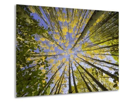 Golden Aspen Trees Seen From Below-John Eastcott & Yva Momatiuk-Metal Print