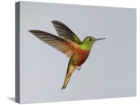 Chestnut-breasted Coronet in Flight-Arthur Morris-Stretched Canvas Print