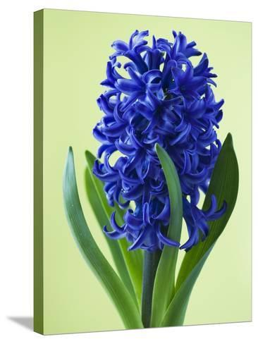 Blue Star hyacinth-Clive Nichols-Stretched Canvas Print