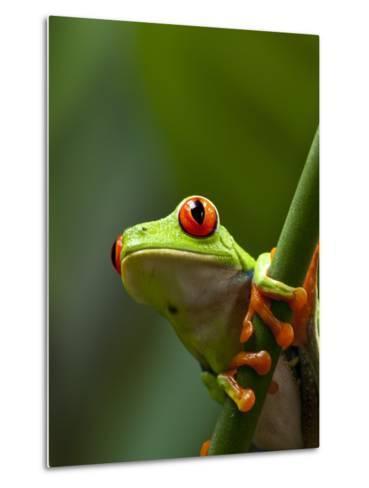 Red-eyed tree frog on stem-Paul Souders-Metal Print