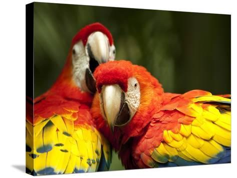 Scarlet Macaws at Zoo Ave Park, Outside San Jose-Paul Souders-Stretched Canvas Print