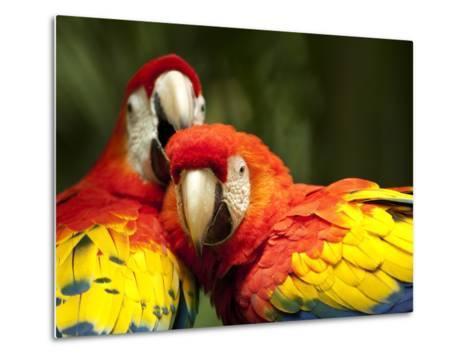 Scarlet Macaws at Zoo Ave Park, Outside San Jose-Paul Souders-Metal Print