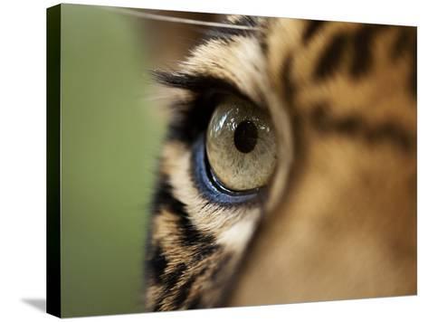 Captive Jaguar at Las Pumas Rescue Shelter-Paul Souders-Stretched Canvas Print
