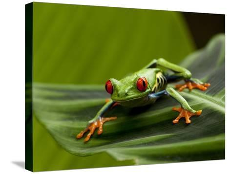 Tree Frog in Costa Rica-Paul Souders-Stretched Canvas Print