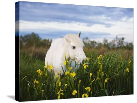 Camargue horse grazing on yellow iris-Theo Allofs-Stretched Canvas Print