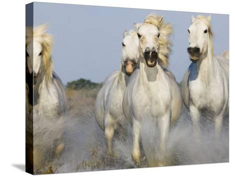 Camargue horses running in marsh-Theo Allofs-Stretched Canvas Print