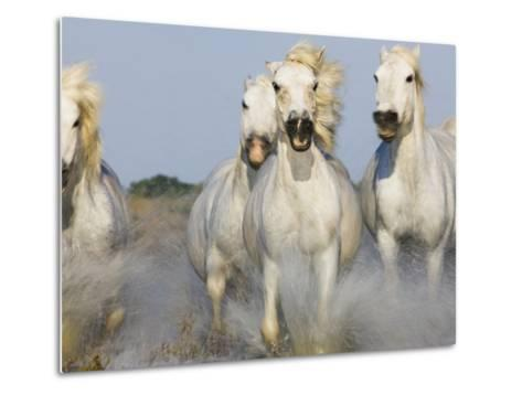 Camargue horses running in marsh-Theo Allofs-Metal Print