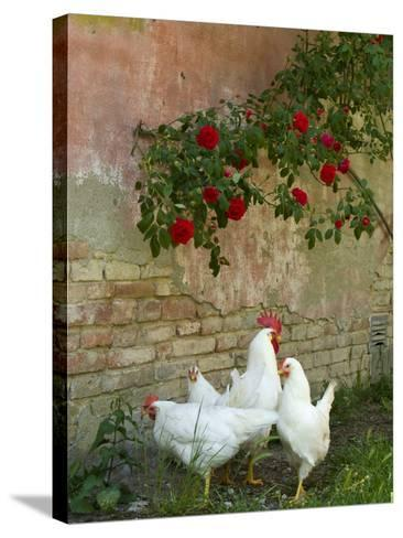White chickens beneath roses-Mark Bolton-Stretched Canvas Print