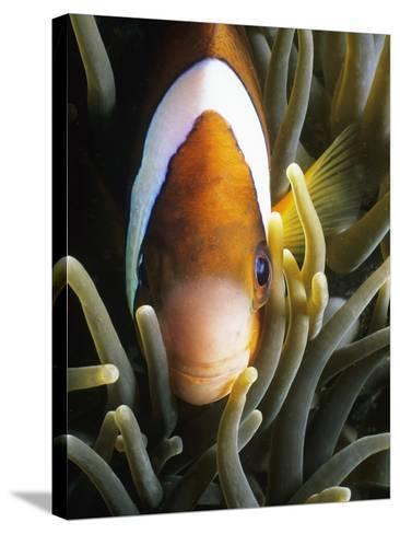 Barrier Reef Anemonefish in Lembeh Strait-Jeffrey Rotman-Stretched Canvas Print