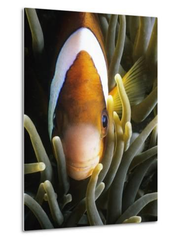 Barrier Reef Anemonefish in Lembeh Strait-Jeffrey Rotman-Metal Print
