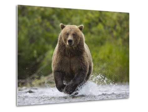 Brown bear running to catch salmon in a river-Theo Allofs-Metal Print