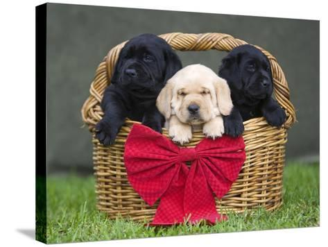 Black and yellow labrador retriever puppies in basket with red bow-Ron Dahlquist-Stretched Canvas Print