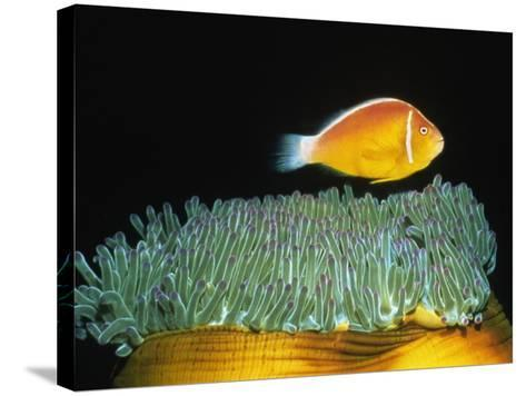 Pink Anemonefish hovers over Magnificent Sea Anemone-Hal Beral-Stretched Canvas Print