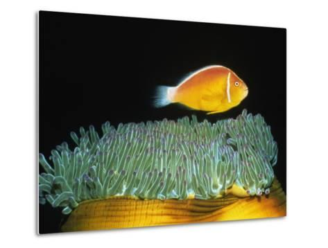 Pink Anemonefish hovers over Magnificent Sea Anemone-Hal Beral-Metal Print