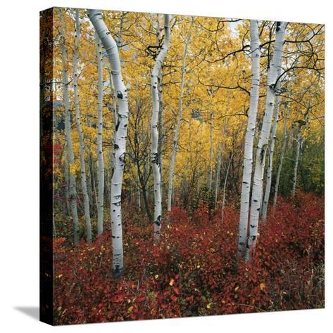 Aspen in autumn at Uinta National Forest-Micha Pawlitzki-Stretched Canvas Print