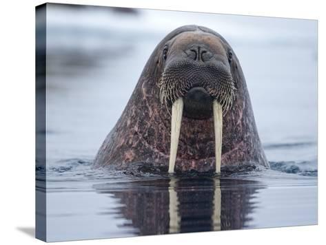 Walrus swimming-Paul Souders-Stretched Canvas Print