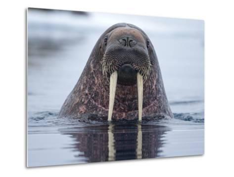 Walrus swimming-Paul Souders-Metal Print