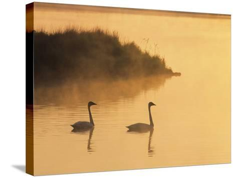 Two Adult Trumpeter Swans (cvanus Buccinator) in Morning Light at the Mouth of Junction Creek, Wald-Don Johnston-Stretched Canvas Print