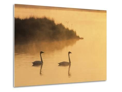 Two Adult Trumpeter Swans (cvanus Buccinator) in Morning Light at the Mouth of Junction Creek, Wald-Don Johnston-Metal Print