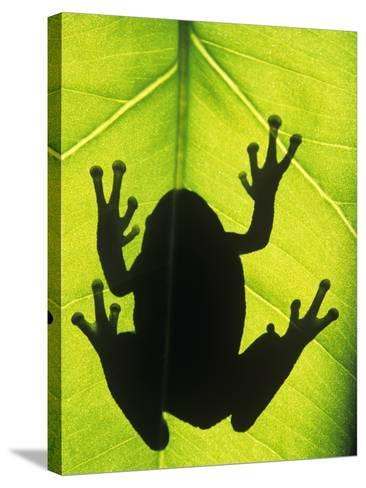 Silhouette of an Eastern Tree Frog (hyla Versicolor) Clinging to a Leaf, Walden, Ontario, Canada-Don Johnston-Stretched Canvas Print
