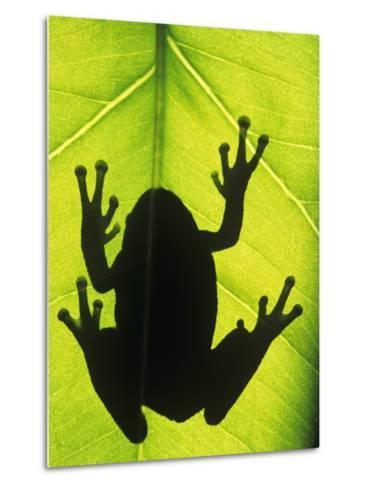 Silhouette of an Eastern Tree Frog (hyla Versicolor) Clinging to a Leaf, Walden, Ontario, Canada-Don Johnston-Metal Print