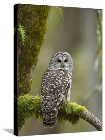 Barred Owl Perched on Mossy Branch, Victoria, Vancouver Island, British Columbia, Canada.-Jared Hobbs-Stretched Canvas Print