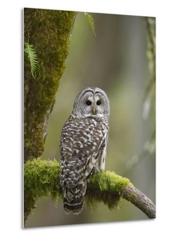 Barred Owl Perched on Mossy Branch, Victoria, Vancouver Island, British Columbia, Canada.-Jared Hobbs-Metal Print