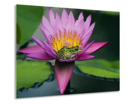 Frog on Waterlily in Urban Pond; Leo Mol Garden; Assiniboine Park, Winnipeg, Manitoba, Canada.-Mike Grandmaison-Metal Print