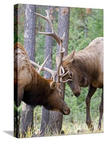 Two Male Elk (Cervus Canadensis) Clash Antlers in a Fight for Dominance and the Right to Mate Durin-kelly funk-Stretched Canvas Print