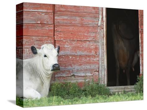 Cows and Red Barn, Southern Saskatchewan, Canada-Sam Chrysanthou-Stretched Canvas Print