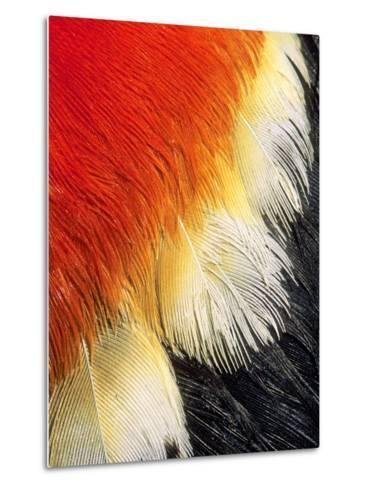Scarlet Epaulet in a Male Red-winged Blackbird (Agelaius Phoeniceus), Alberta, Canada.-Wayne Lynch-Metal Print