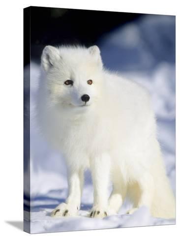 Adult Arctic Fox (Alopex Lagopus) Foraging on the Shoreline, Hudson Bay, Arctic Manitoba, Canada-Wayne Lynch-Stretched Canvas Print