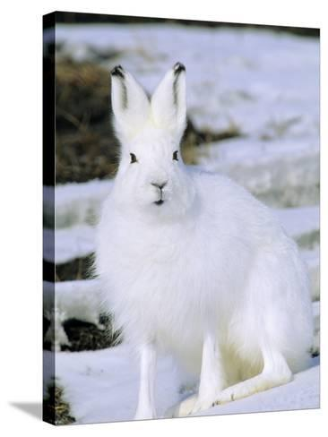 Adult Arctic Hare (Lepus Arcticus), Banks Island, Northwest Territories, Arctic Canada-Wayne Lynch-Stretched Canvas Print