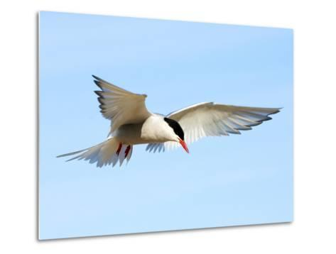 Adult Arctic Tern (Sterna Paradisea) Hovering Before a Dive, Victoria Island, Nunavut, Arctic Canad-Wayne Lynch-Metal Print