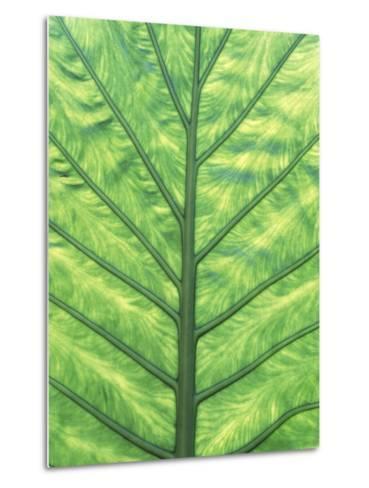 Yellow Skunk Cabbage (Lysichitum Americanum) Leaf Pattern, British Columbia, Canada.-Chris Cheadle-Metal Print