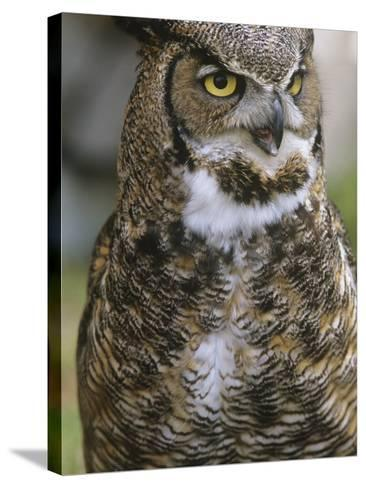 Great Horned Owl, Bubo Virginianus, British Columbia, Canada.-Ian McAllister-Stretched Canvas Print