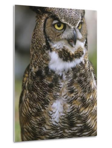 Great Horned Owl, Bubo Virginianus, British Columbia, Canada.-Ian McAllister-Metal Print