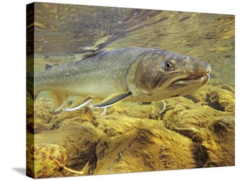 Interior Bull Trout, Bulkley River, British Columbia, Canada.-Keith Douglas-Stretched Canvas Print
