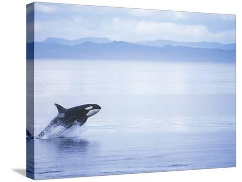 Killer Whale Breaching, British Columbia, Canada.-Jim Borrowman-Stretched Canvas Print