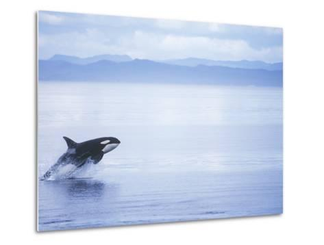 Killer Whale Breaching, British Columbia, Canada.-Jim Borrowman-Metal Print