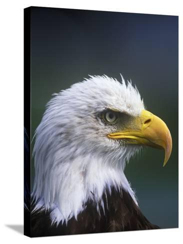 Bald Eagle, Canada.-Russ Heinl-Stretched Canvas Print