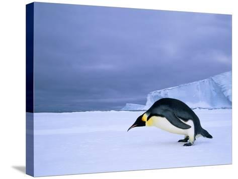 Emperor Penguin (Aptenodytes Forsteri) at the Edge of the Shorefast Ice, Drescher Inlet, 72 Degrees-Wayne Lynch-Stretched Canvas Print