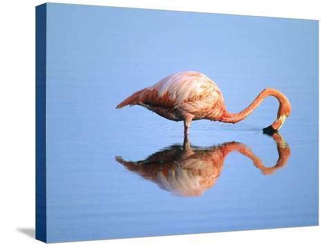 Adult Greater Flamingo (Phoenicopterus Ruber), Feeding. Isaabela Island, Galapagos Islands, Ecuador-Wayne Lynch-Stretched Canvas Print