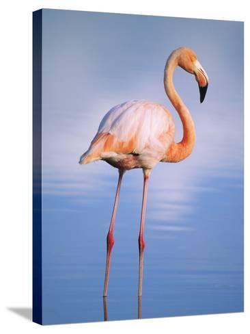 Greater Flamingo (Phoenicopterus Ruber), Isabela Island, Galapagos Archipelago, Ecuador-Wayne Lynch-Stretched Canvas Print