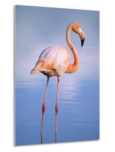 Greater Flamingo (Phoenicopterus Ruber), Isabela Island, Galapagos Archipelago, Ecuador-Wayne Lynch-Metal Print